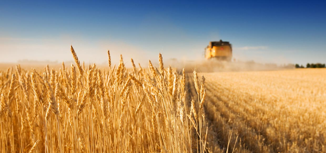 Kemgro fertilizers, wheat harvest photo for Home page slider.