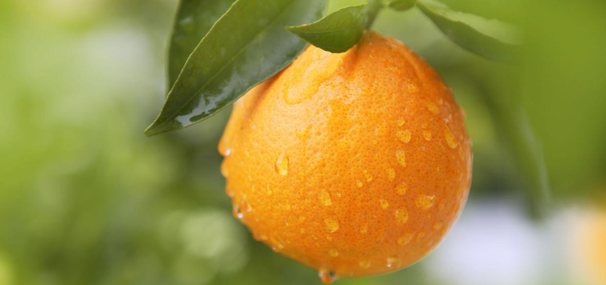 Kemgro fertilizers Premium NPK oranges pic, closeup of an orange growing on a tree.