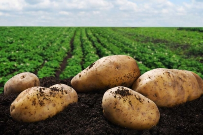 Kemgro Crop Solutions What is in healthy soils blog photo of potatoes on healthy soil with plantation in background.