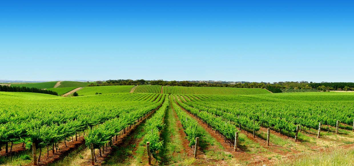 Kemgro Crop Solutions manufacturers and suppliers of liquid fertilizer, photo of green vineyard for Home page.