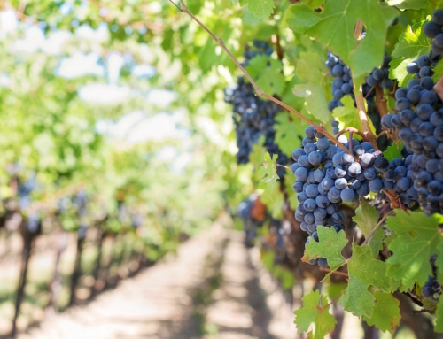 Wine growing in the Riverland