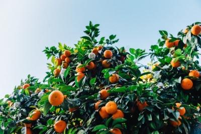 Zinc deficiencies in citrus