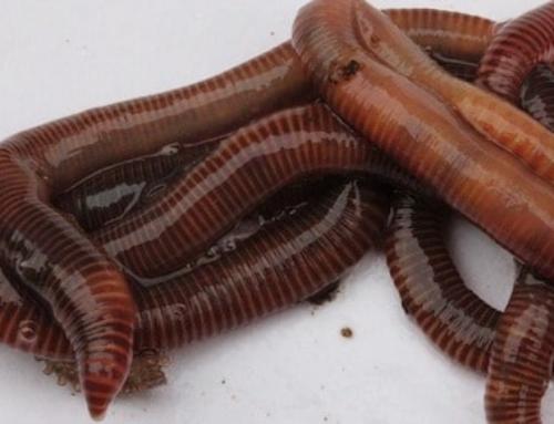 The benefits of the best fertiliser; worm juice!